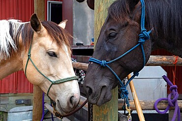 Horses nuzzling at a stable in Merritt, British Columbia, Canada, North America