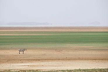 Zebra on the stripes of a salt flat in Amboseli National Park, Kenya, East Africa, Africa
