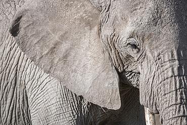 Closeup of an elephant in Amboseli National Park, Kenya, East Africa, Africa