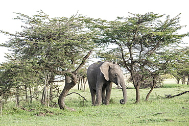 Elephant framed by trees on the Maasai Mara, Kenya, East Africa, Africa