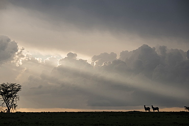 Zebras in silhouette on a ridge during a storm at sunset in the Maasai Mara National Reserve, Kenya, East Africa, Africa