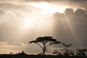 Impala and zebras on a ridge during a storm at sunset in the Maasai Mara National Reserve, Kenya, East Africa, Africa