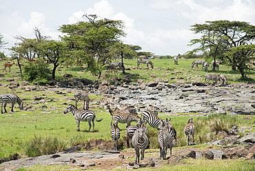 Zebras at a salt lick, Maasai Mara, Kenya, East Africa, Africa