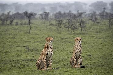 Two cheetahs sitting in the rain before a hunt in the Maasai Mara National Reserve, Kenya, East Africa, Africa