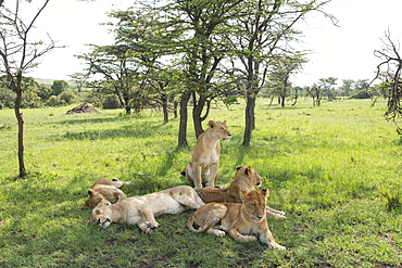 Lions lounging in the shade, afternoon on the Maasai Mara, Kenya, East Africa, Africa