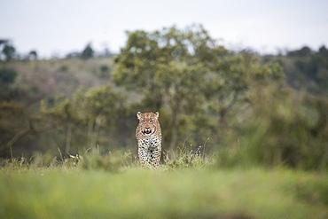 Leopard walking across the savannah in the Maasai Mara National Reserve, Kenya, East Africa, Africa