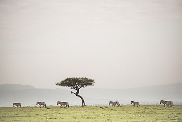 Zebras on the Maasai Mara, Kenya, East Africa, Africa