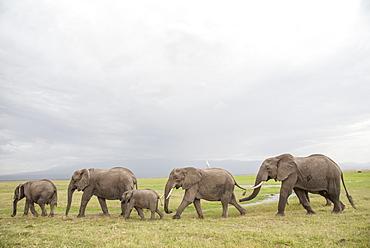 Elephants on the move in Amboseli National Park, Kenya, East Africa, Africa