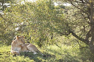 Wild lion in the Olare Motorogi Conservancy of the Maasai Mara, Kenya, East Africa, Africa