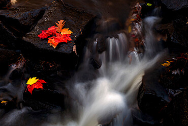Maple leaves in waterfall, Maine, New England, United States of America, North America