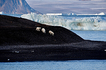 Polar bear mother and cubs walking over black glacier eroded soil, Nunavut and Northwest Territories, Canada, North America