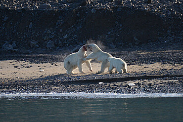 Male and female polar bears fighting. with cub observing, Nunavut and Northwest Territories, Canada, North America