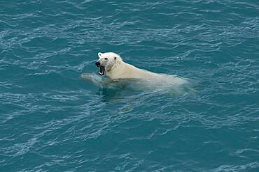 Polar bear swimming, Nunavut and Northwest Territories, Canada, North America