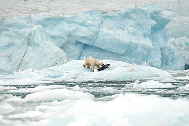Polar bear on sea ice hunting a seal, Nunavut and Northwest Territories, Canada, North America