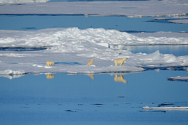 Female polar bear and first year cubs on sea ice, Nunavut and Northwest Territories, Canada, North America