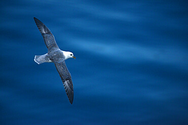 Fulmar flying over the ocean, Nunavut and Northwest Territories, Canada, North America