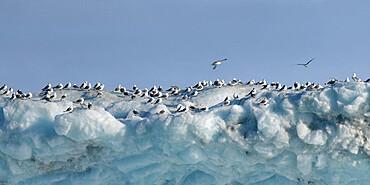 Kittiwakes on iceberg, Nunavut and Northwest Territories, Canada, North America