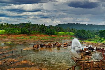 Elephants enjoying the bath at Pinnawala Elephant Orphanage, Colombo, Sri Lanka, Asia