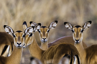 A herd of Impala look curiously at the camera, South Luangwa National Park, Zambia, Africa