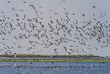 Large flock of seagulls at Olympic National Park, UNESCO World Heritage Site, Washington State, United States of America, North America - 1320-108