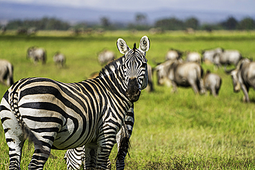 A heard of Zebra, Equus quagga, in Amboseli National Park, Kenya.
