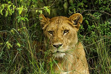 A Lion, Panthera leo, in the brush in the Maasai Mara National Reserve, Kenya.