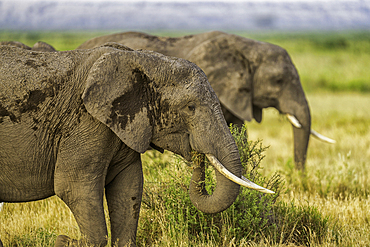 Elephants feeding, Loxodonta africana, in Amboseli National Park, Kenya.