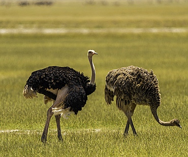 Two Ostrichs, Struthio Camelus, in Amboseli National Park, Kenya.