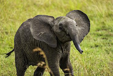 A young Elephant, Loxodonta africana, in Amboseli National Park, Kenya.