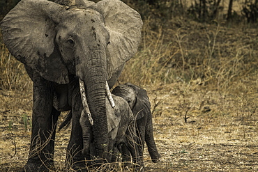 Mother Elephant and her two offspring walk through pasture, South Luangwa National Park, Zambia, Africa
