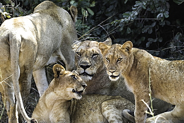 A pride of Lions rest under a shady bush, South Luangwa National Park, Zambia, Africa