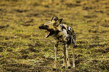 African Wild Dog yawns in grass pasture, South Luangwa National Park, Zambia, Africa