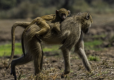 African Vervet Mother and baby monkey travel through a small grass pasture, South Luangwa National Park, Zambia, Africa