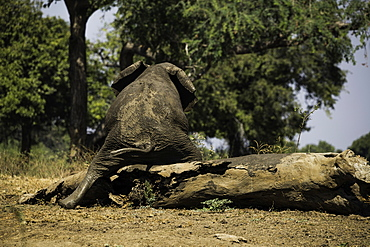 African Elephant scratching its behind on a log, South Luangwa National Park, Zambia, Africa