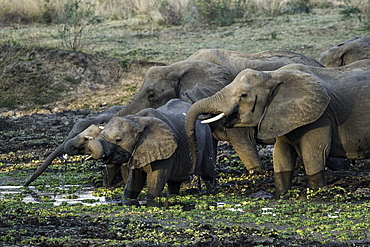 Group of African Elephants drinking at watering hole, South Luangwa National Park, Zambia, Africa