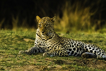 Camouflaged Leopard rests in grass patch as it turns dusk, South Luangwa National Park, Zambia, Africa