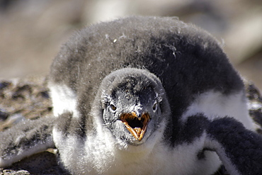 Antarctic Gentoo Penguin panting due to summer heat wave, Antarctica, Polar Regions