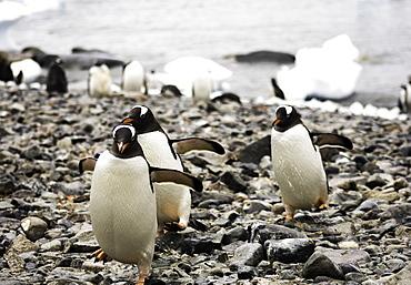 Group of Antarctic Gentoo Penguins waddling up the rocky beach, Antarctica, Polar Regions