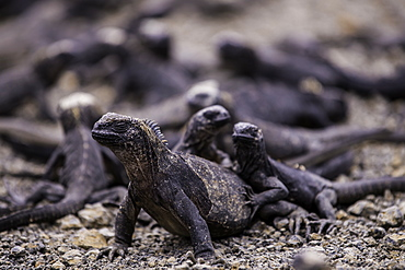 Grouping of Sea Iguanas resting on each other, Isabela Island, Galapagos, Ecuador, South America
