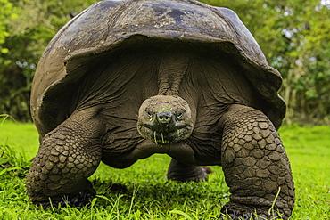 Giant Tortoise feeding on grass, Giant Tortoise Reserve, Santa Cruz, Galapagos, Ecuador, South America