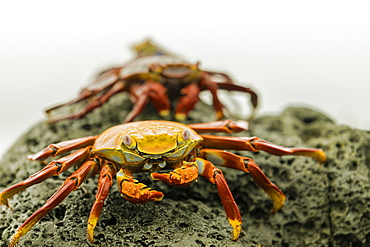 A line of Fiddler Crabs on a rocky beach, Isabela Island, Galapagos, Ecuador, South America