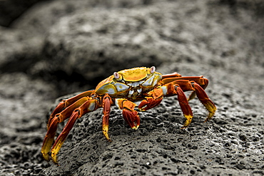 Fiddler Crab on a rocky beach, Isabela Island, Galapagos, Ecuador, South America