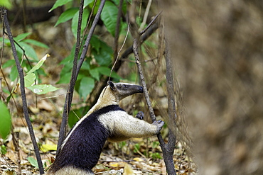 A Northern Tamandua (Ant-Eater) feeding in the forests of the Soberania National Park, Panama, Central America