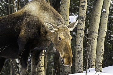 An Alaskan moose in winter roaming the Denali National Park, Alaska, United States of America, North America