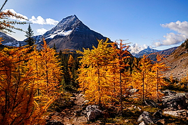 Mountain view during the peak of Larch Season, near Lake O'Hara, Yoho National Park, UNESCO World Heritage Site, British Columbia, Canada, North America