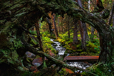 Stream and dense forest in Yoho National Park, UNESCO World Heritage Site, British Columbia, Canada, North America