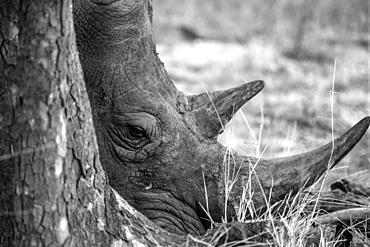 Rhino close-up in black and white, Timbavati, South Africa, Africa