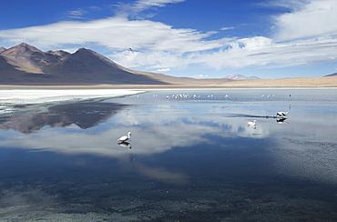 Laguna Canapa with flamingoes feeding, Potolsi, Bolivia, South America