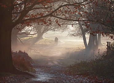 An old man walks his dog one winter's morning in a misty Richmond Park, Richmond, Greater London, England, United Kingdom, Europe