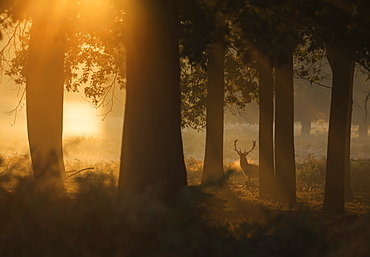 A red deer stag (Cervus elaphus) waits between the trees one stunning misty autumn sunrise in Richmond Park, Richmond, Greater London, England, United Kingdom, Europe
